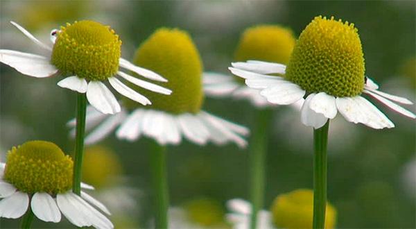 Непереносимость ромашки в основном индивидуальна, а широкого распространения аллергия на неё не имеет.