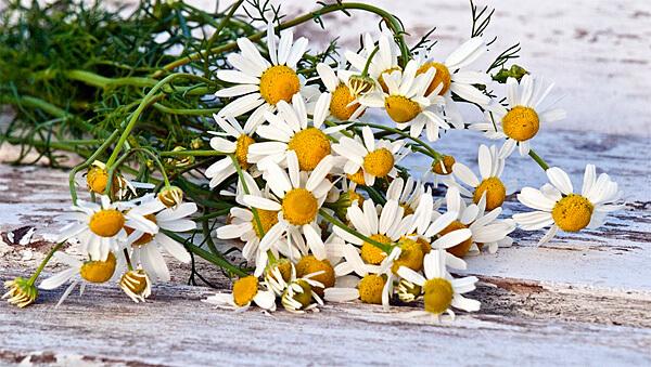 При летней обрезке удаляются только цветоносы, чтобы листва обеспечила новые ресурсы для повторного цветения.