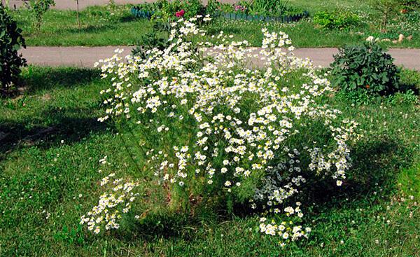 Если куст осенью не срезать, он все равно высохнет, а под снегом может и запреть, что иногда становится причиной гибели всего растения.