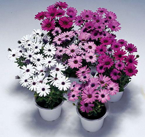 Пэшн имеет множество вариантов расцветки, от белого до темно-фиолетового.