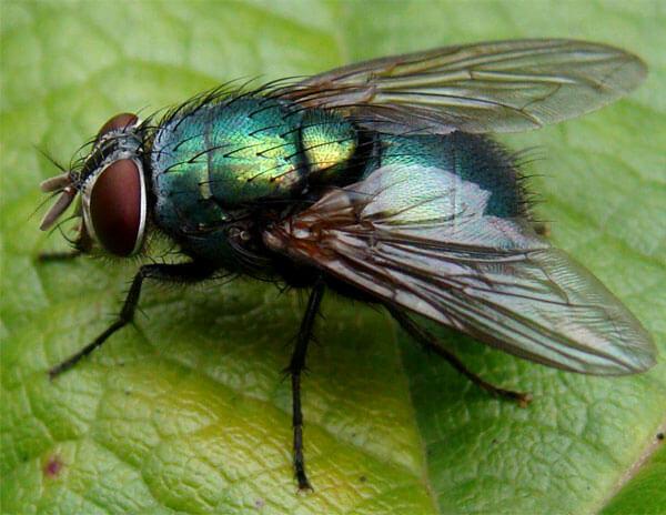 Для отравления насекомого достаточно, чтобы порошок ромашки попал на тело насекомого.