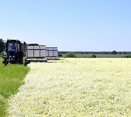 С помощью специальной техники за день собираются несколько тонн соцветий ромашки.