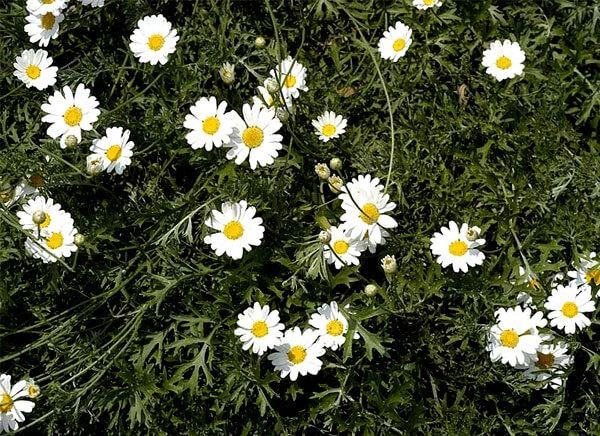 Зачастую его используют в цветниках на альпийских горках.