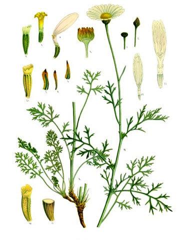 Иллюстрация о далматской ромашке из справочника с подробным описанием всех частей растения