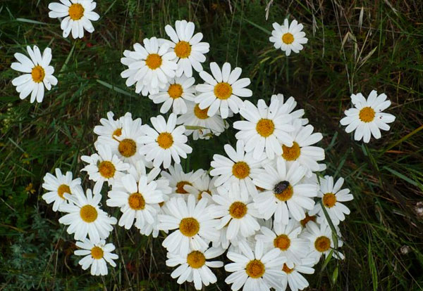 По жуку на соцветии можно оценить размеры самого цветка.
