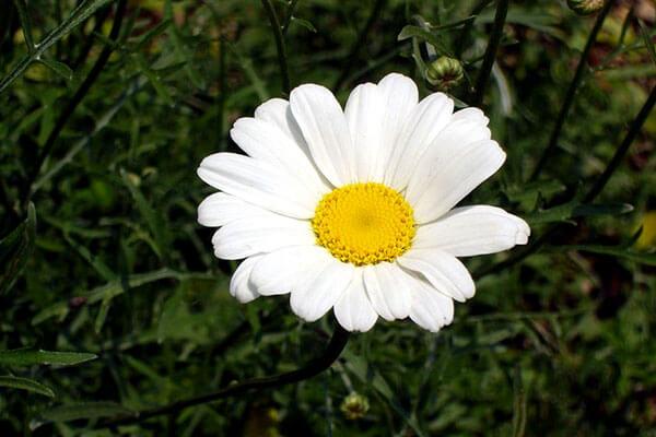 Соцветия всех видов рода Пиретрум более крупные, чем у ромашки аптечной.