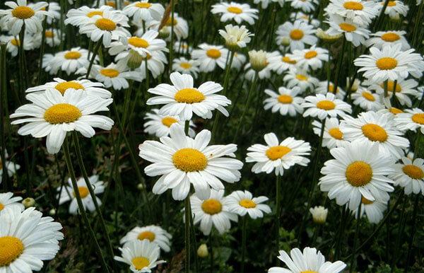 Контраст желтого с белым очень заметен и привлекает к цветкам насекомых-опылителей.