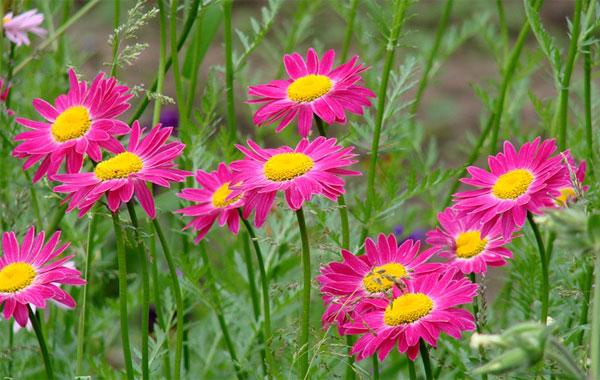 Кавказская и персидская ромашка известны оригинальным цветом краевых цветков.