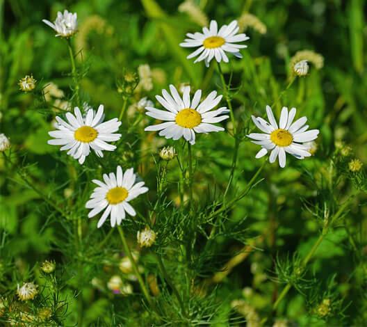 От аптечной ромашки непахучая отличается в первую очередь формой соцветий и листьев.
