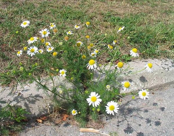 Это одно из тех растений, избавиться от которых сложнее, чем вырастить его.