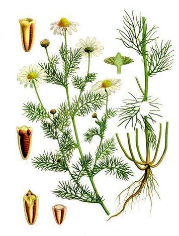 Уже по структуре листьев непахучую ромашку можно отличить от аптечной.