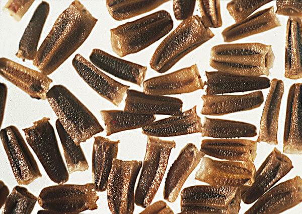 Немного заостренная форма эти семян облегчает их заглубление в почву.