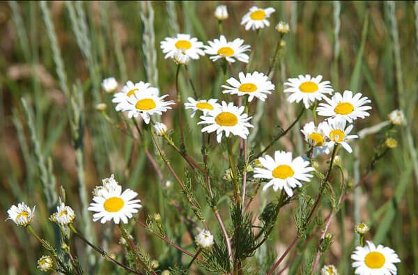 Количество соцветий на кусте определяется питанием растения и общими условиями, в которых оно растет.
