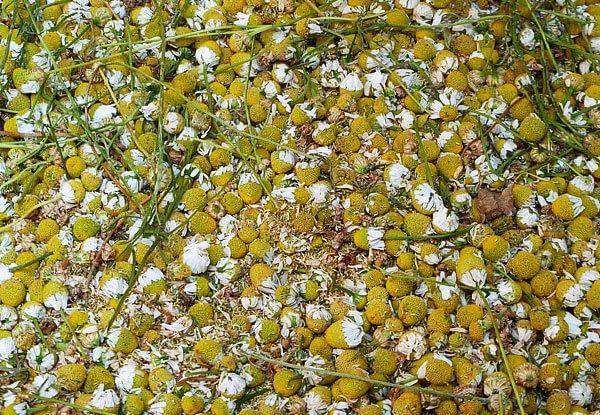 Количества антиоксидантов в ромашке не превышают таковые в большинстве другого растительного сырья.