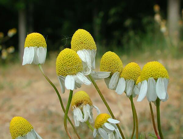 """Интересно, что желтые и белые элементы таких соцветий - это отдельные цветы, а не """"тычинки"""" и не """"лепестки""""."""