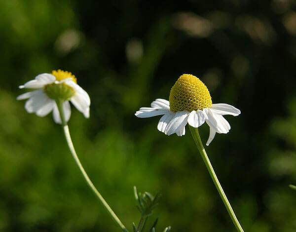 Буквально через несколько дней эти соцветия высохнут, а на месте желтых цветков появятся семена.
