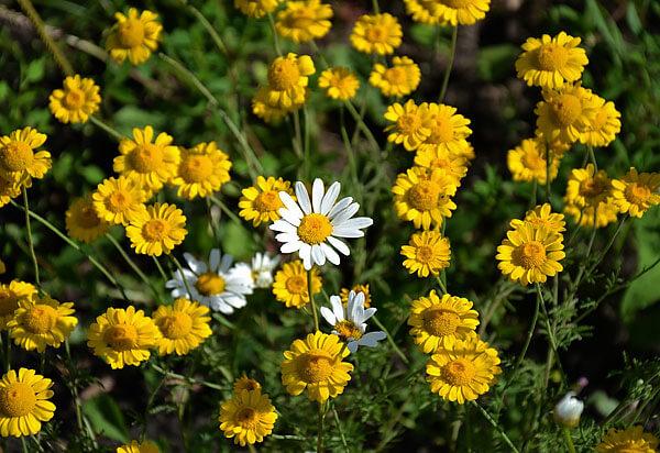 Желтая ромашка - это именно цветы с желтыми серединками и желтыми же краевыми листьями.