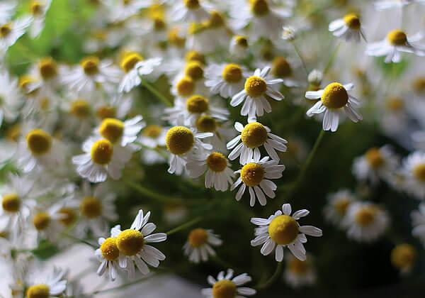 Обратите внимание именно на полугруглые желтые соцветия: у большинства цветов, похожих на ромашки, эти соцветия почти плоские.