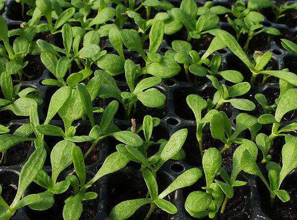 Первые листья у проростков значительно более широкие, чем листья на взрослом кусте, что позволяет им поглощать необходимое для маленького проростка количество света.