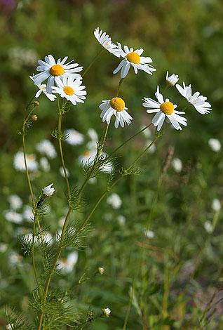 Тем не менее, именно длина цветоносов обеспечивает конкурентное преимущество ромашки, которую не закрывают другие растения.