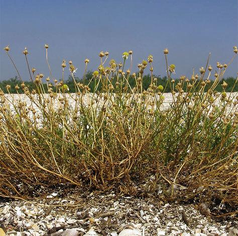 Корень куста также погибает на зиму, а на лето на этом месте прорастают осыпавшиеся семена.