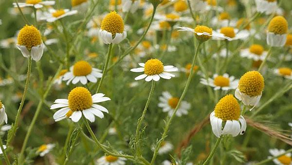 """Такие соцветия с поникшими краевыми цветками не имеют того очарования, которое свойственно """"бодрым"""" молодым соцветиям."""