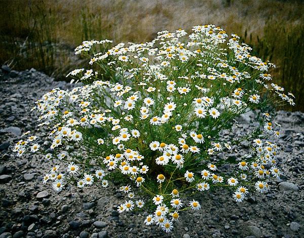 Даже при большом количестве соцветий такой куст очень рыхлый и полупрозрачный.
