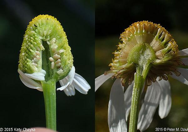 Пустая полость внутри цветоложа ромашки аптечной - главное отличие её от других видов.