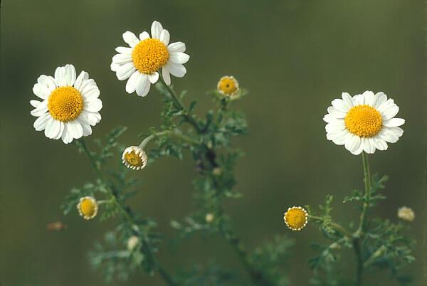 Как видим, не только соцветиями, но и листьями это растение отличается от ромашки аптечной.
