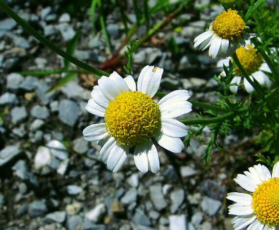 У ромашки аптечной середина соцветия также полусферическая, но она не так поднята над краевыми цветками.