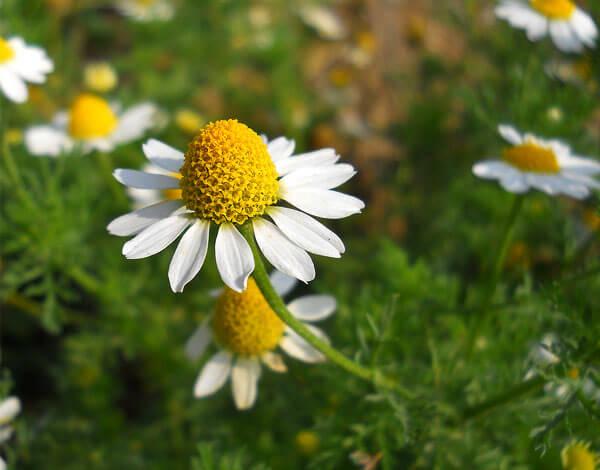 Чем старше соцветие, тем выше его середина.