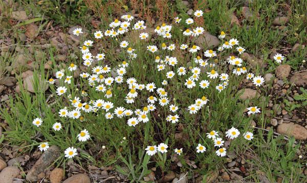 Хорошо видно, что у нивяника срединные цветы лежат на плоском цветоложе, а у ромашки цветоложе выпуклое.
