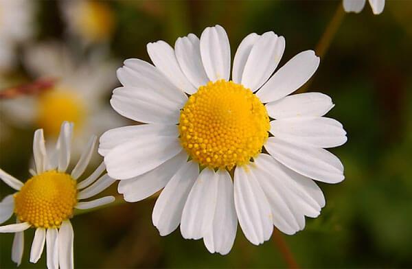 Сочетание цветов у соцветия ромашки аптечной только такое и никак иначе: желтая середина и белые края.