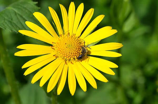 Аптечная ромашка никогда не бывает с желтыми краевыми цветками.