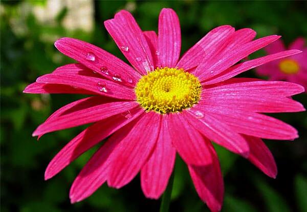 Здесь соцветие отличается как цветом краевых цветков, там и их длиной.