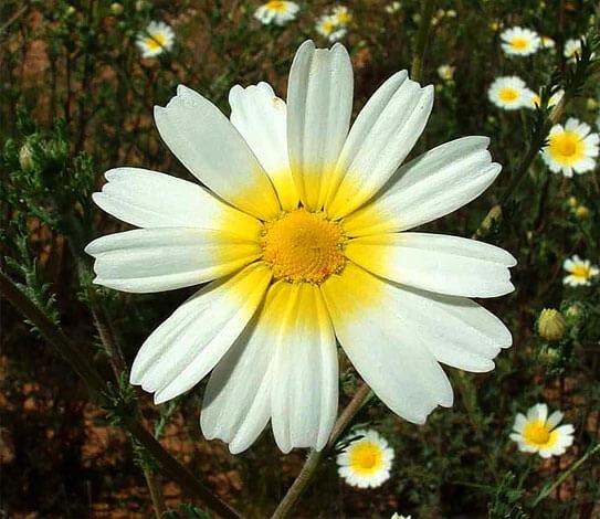 """Желтый """"ореол"""" вокруг центра цветка - главная отличительная особенность марокканской ромашки, а у аптечной ромашки такого узора не бывает никогда."""