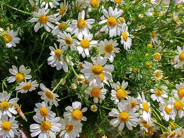 Именно в соцветиях содержатся эфирное масло, витамины, гликозиды и другие вещества, оказывающие лечебное действие.