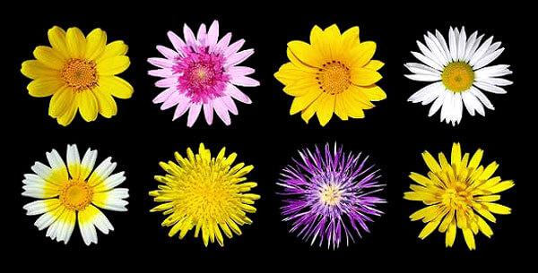 Из этих цветов в верхнем ряду крайнее справа - соцветие пиретрума, в нижнем ряду крайнее слева - соцветие марокканской ромашки.
