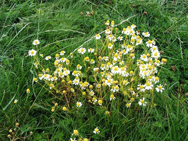 """Если кустов несколько, то общая форма расположения соцветий у них и не просматривается, но у одного куста формируется угадываемый """"зонтик""""."""