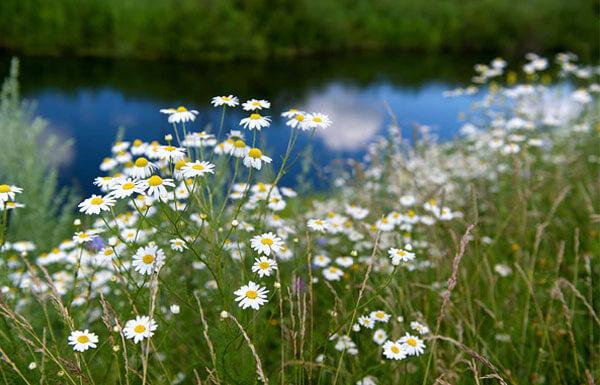 Речные долины - один из оптимальных для ромашки биотопов.
