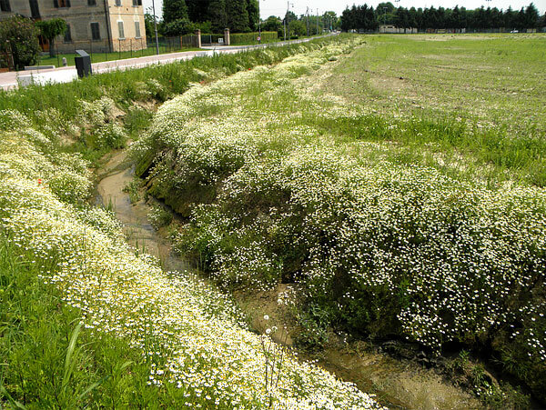 На таких склонах другие растения не могут закрепиться, и потому у ромашки практически нет конкурентов.