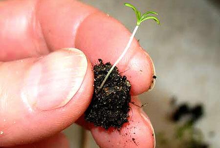 Для того, чтобы семя ромашки проросло, оно должно впитать в 5 раз больше влаги, чем весит само.