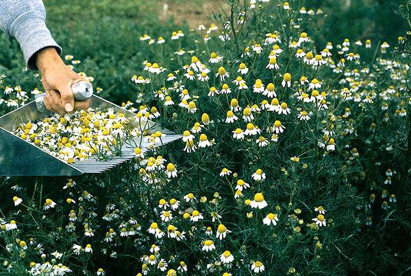 В лекарственном сырье не должно быть более 5% стеблей, листьев и цветоносов.