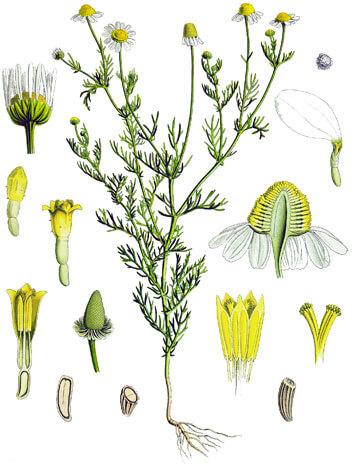 Крупным планом показаны внутренние трубчатые цветы желтого цвета и наружные язычковые белые цветы.