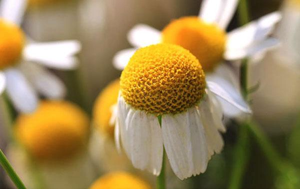 """""""Лепестки"""" по краям - это тоже цветки, имеющие совершенно иную форму."""