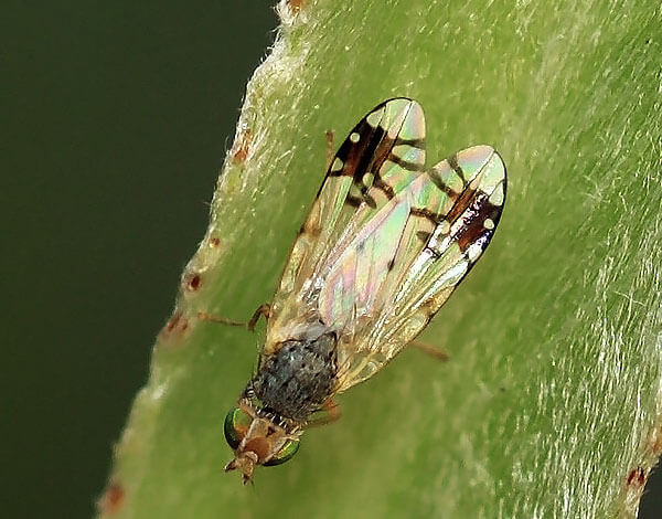 Помимо ромашки личинки звездокрылок поражают многие другие растения и причиняют большой экономический ущерб.