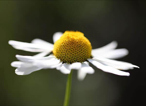 По мере развития соцветия краевые цветки постепенно опускаются вниз и осыпаются.