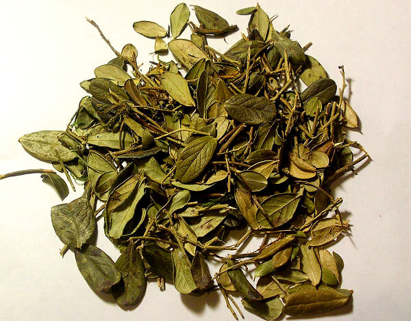 С такими листьями готовят отвар, чай, спиртовые настойки и некоторые другие препараты, часто применяемые при простуде.