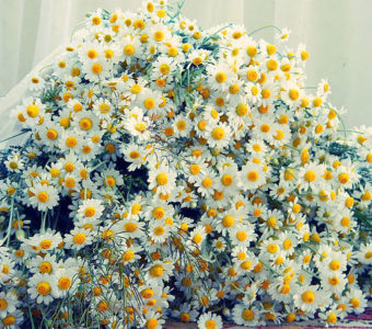 Цветы, похожие на ромашки (в том числе разноцветные) и их фото