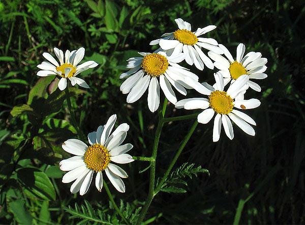 Здесь из отличий в первую очередь можно выделить размер соцветия и форму краевых листьев.